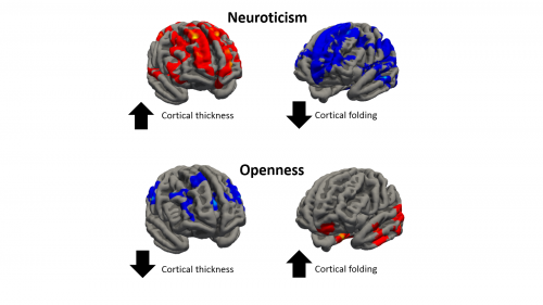 Researchers investigated the differences in the brain cortical anatomy by three index measures: thickness, area and amount of folding in the cortex