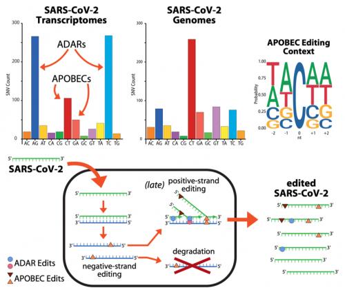 Mutazioni dovute agli enzimi ADAR e APOBEC