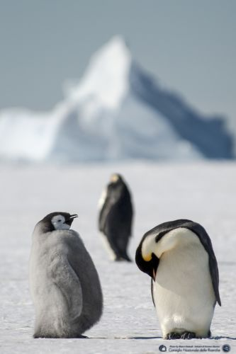 The emperor penguin family on the Antarctic sea ice (Ross Sea - Baia Terra Nova - Antarctica - PNRA- Ismar_cnr)