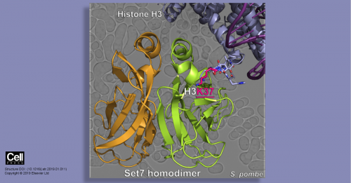 Struttura atomica della nuova proteina Set7