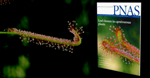 Drosera Capensis PNAS: Sept 17, 2019 Vol 116 (38)