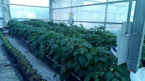Produzione di fagiolino biofortificato in silicio, sistema di coltivazione senza suolo in vaso con substrato
