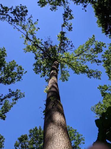 Esemplare di Quercus Robur (Farnia)